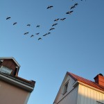Fåglar och hus