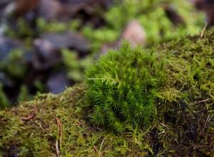 Fiby urskog april 16 Björnmossa för webb