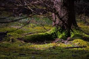 Fiby urskog april trädrot för webb